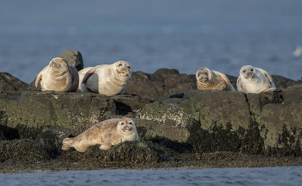 The Vatnsnes Peninsula - Seals in the north of Iceland
