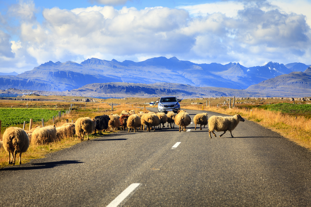 My top for for an Iceland Ring Road trip - watch out for the sheep!