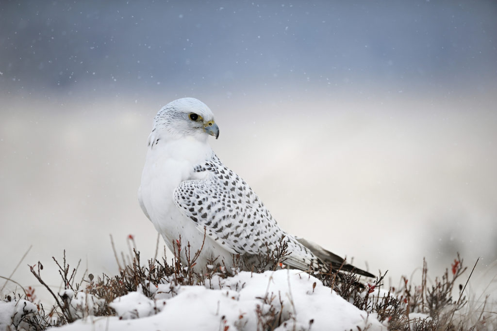 Birds of Iceland national bird Gyrfalcon